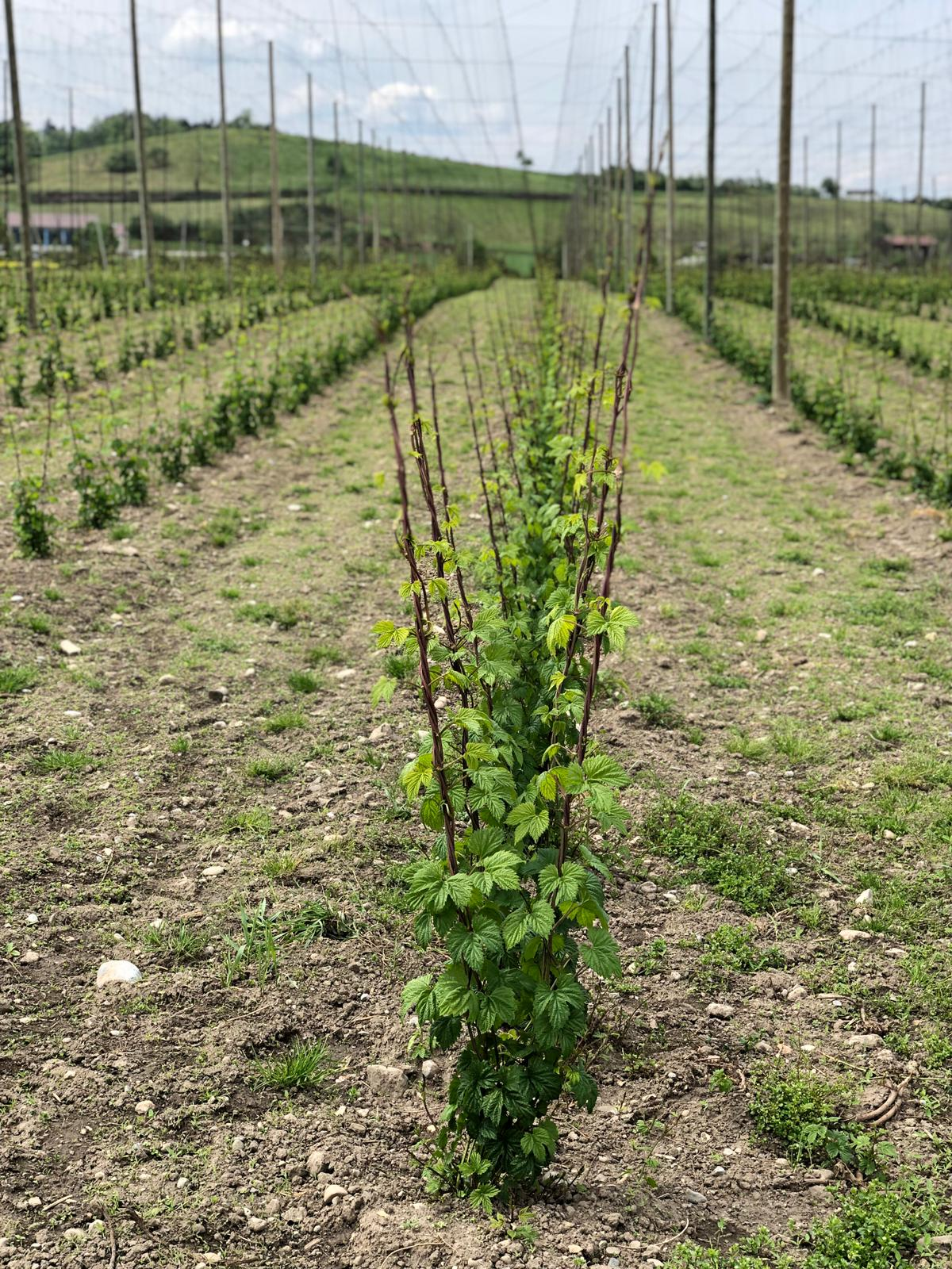 You are currently viewing Hopfentropfenhopfen am Freitag, 3. Mai 2019