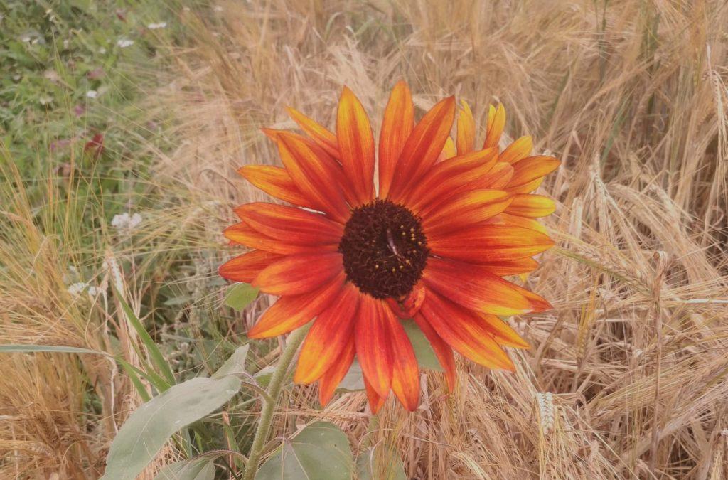 Sonnenblumendank aus dem Val Lumnezia