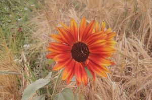 Read more about the article Sonnenblumendank aus dem Val Lumnezia