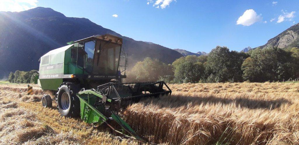 Im Rausch der Bio-Bergbraugerste: Dreschen von und mit Filipp Grass, Zernez